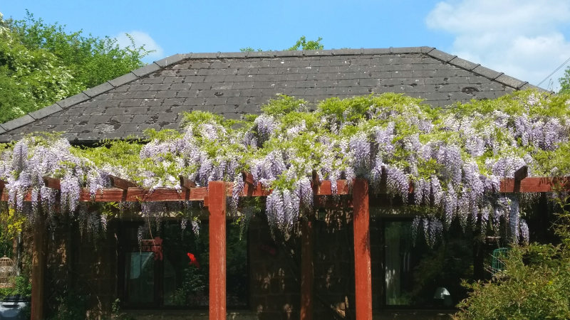 Patio with wisteria